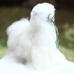 Teddy llama beautful baby alpaca